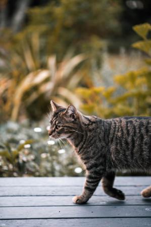 Chat qui marche sur un plancher extérieur