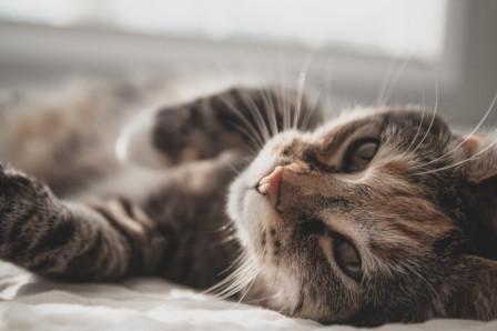 Chat tigré allongé sur le flanc regardant l'objectif