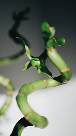 Bambou en torsade
